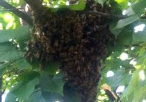 Почему пчелы захватили детский сад: они остановились на отдых