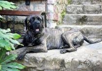 В Москве собака породы кане-корсо загрызла хозяина, кинологи удивились
